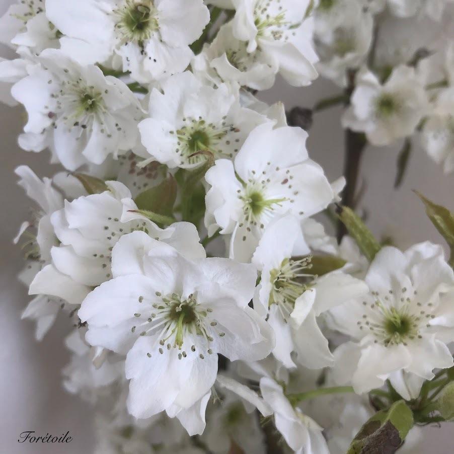 梨の花_f0377243_13141282.jpg