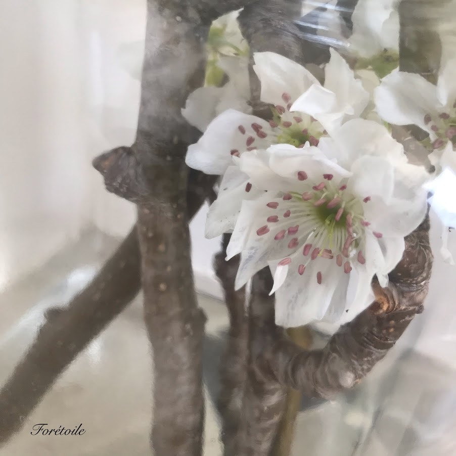Fleur de poire_f0377243_13145527.jpg