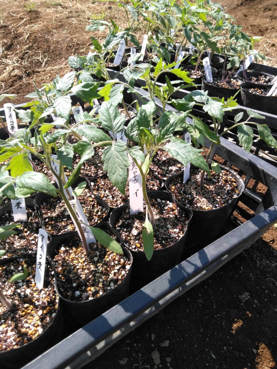 今日でトマトの定植終了です  バジリコ 人参の播種終了 蚕豆&スナップエンドウ豆は15日より収穫いたします_c0222448_13523519.jpg