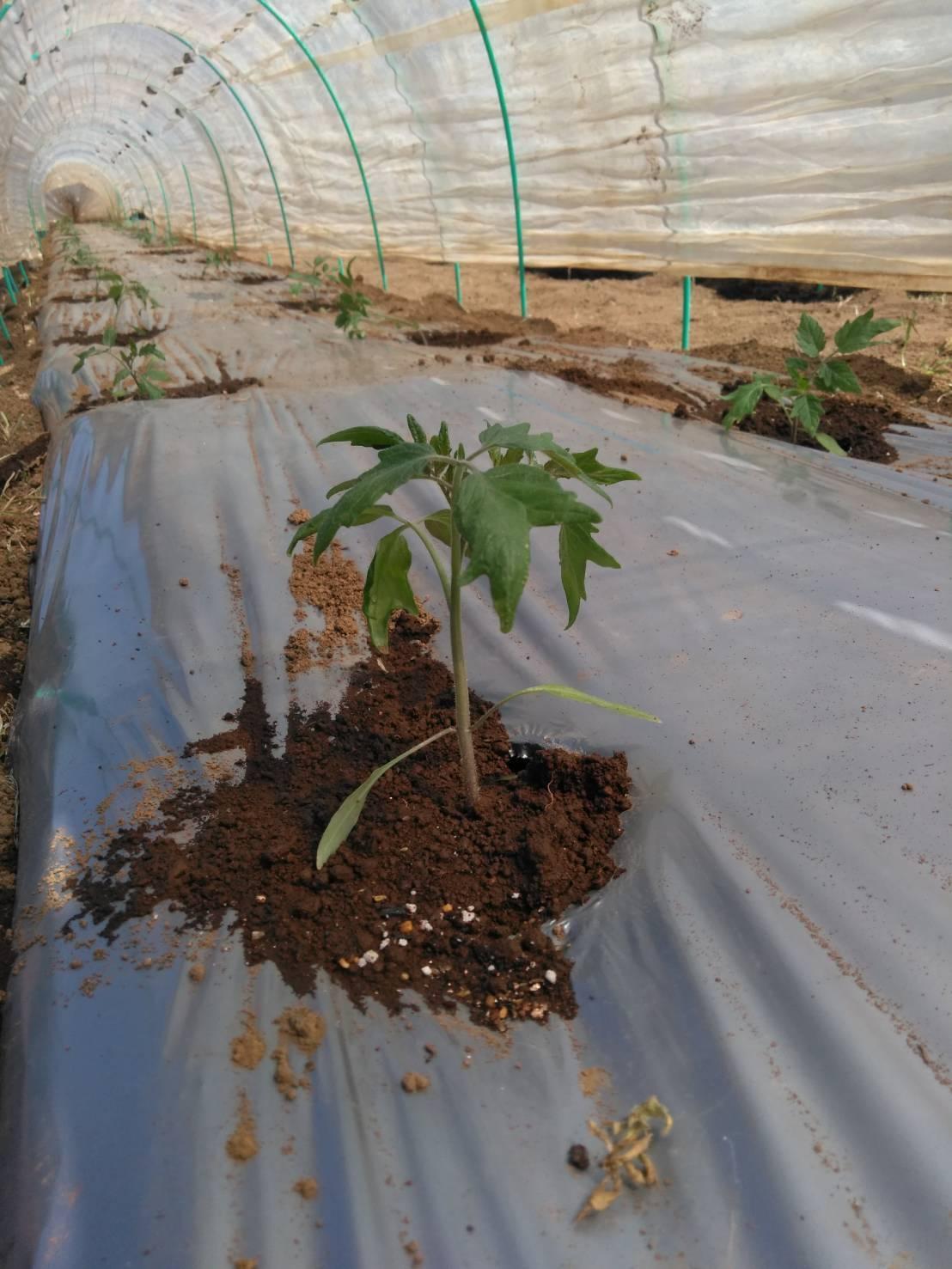 今日でトマトの定植終了です  バジリコ 人参の播種終了 蚕豆&スナップエンドウ豆は15日より収穫いたします_c0222448_13530759.jpg