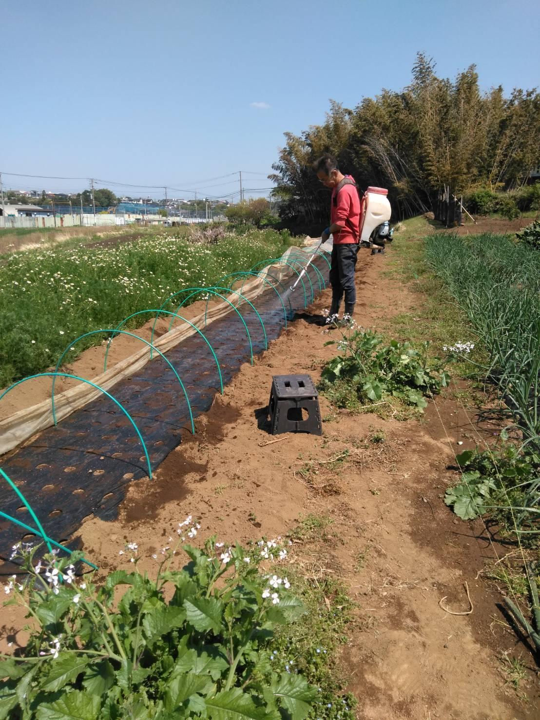 今日でトマトの定植終了です  バジリコ 人参の播種終了 蚕豆&スナップエンドウ豆は15日より収穫いたします_c0222448_13545273.jpg