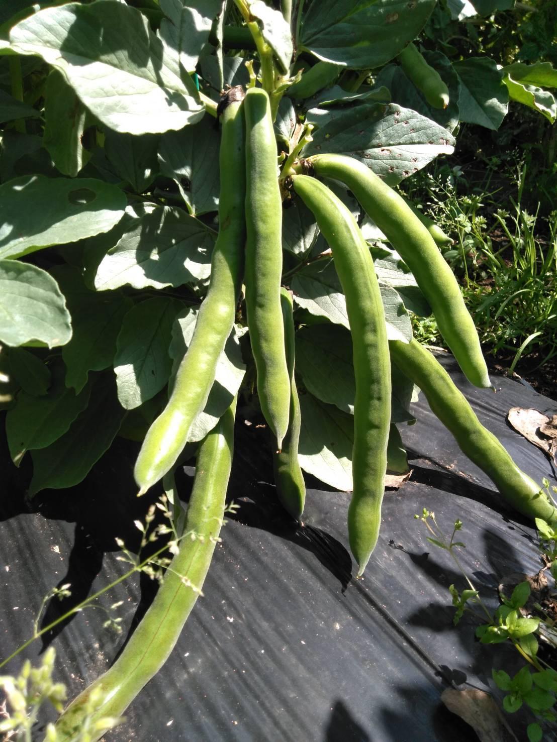今日でトマトの定植終了です  バジリコ 人参の播種終了 蚕豆&スナップエンドウ豆は15日より収穫いたします_c0222448_13570215.jpg