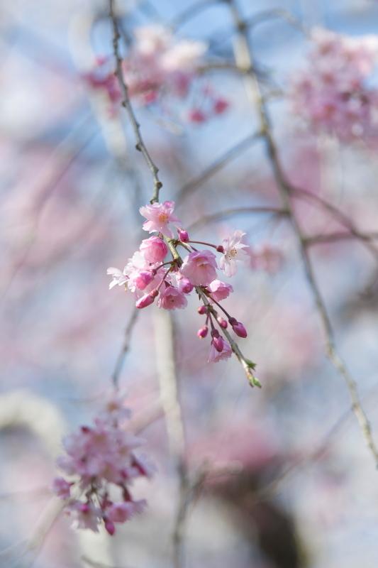 枝垂れ桜_b0044477_22392697.jpg
