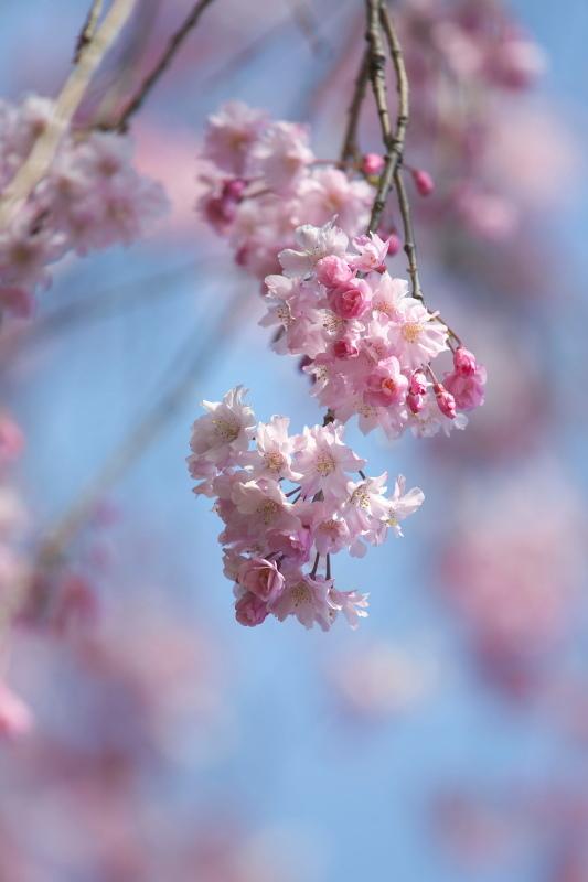 枝垂れ桜_b0044477_22393554.jpg