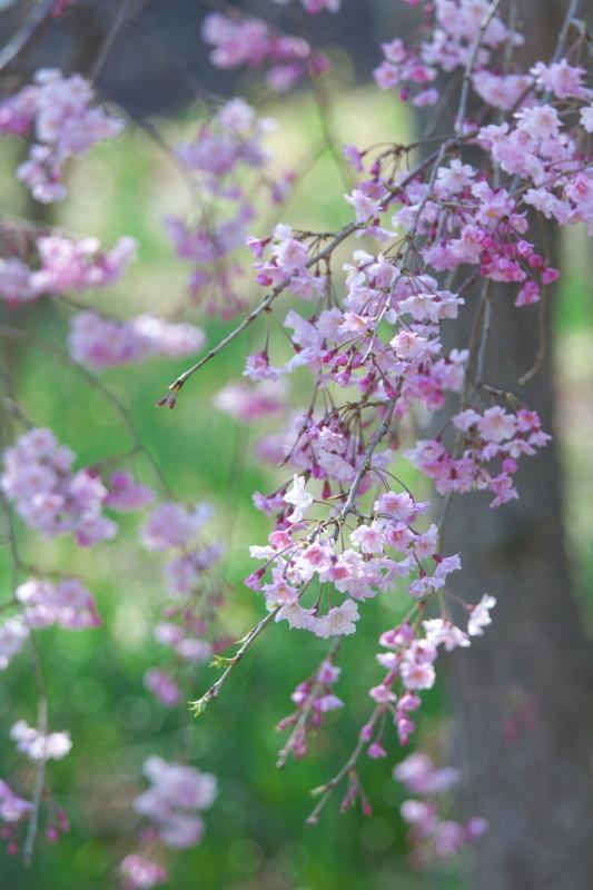 枝垂れ桜_b0044477_22394590.jpg
