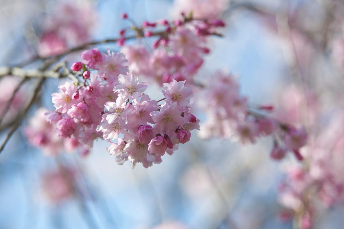 枝垂れ桜_b0044477_22402020.jpg