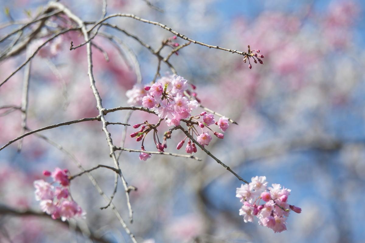 枝垂れ桜_b0044477_22404055.jpg