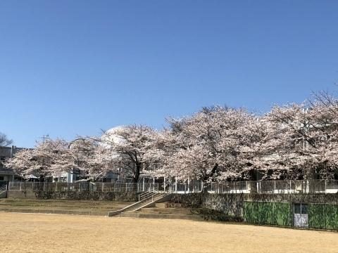 秋田も桜、咲きました。_f0319699_20113302.jpeg