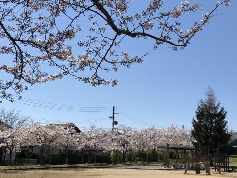 秋田も桜、咲きました。_f0319699_20115938.jpeg