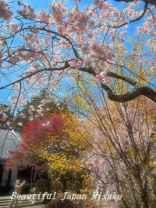 満開の千光寺の枝垂れ櫻・゚☆、・`☆・・゚☆駒ヶ根 4月10日_c0067206_16511174.jpg
