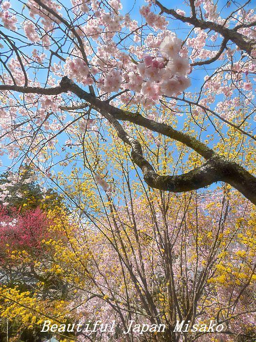 満開の千光寺の枝垂れ櫻・゚☆、・`☆・・゚☆駒ヶ根 4月10日_c0067206_16513175.jpg