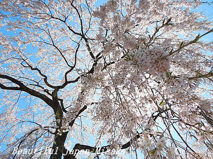 満開の千光寺の枝垂れ櫻・゚☆、・`☆・・゚☆駒ヶ根 4月10日_c0067206_16515073.jpg