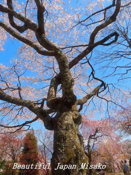 満開の千光寺の枝垂れ櫻・゚☆、・`☆・・゚☆駒ヶ根 4月10日_c0067206_16560385.jpg
