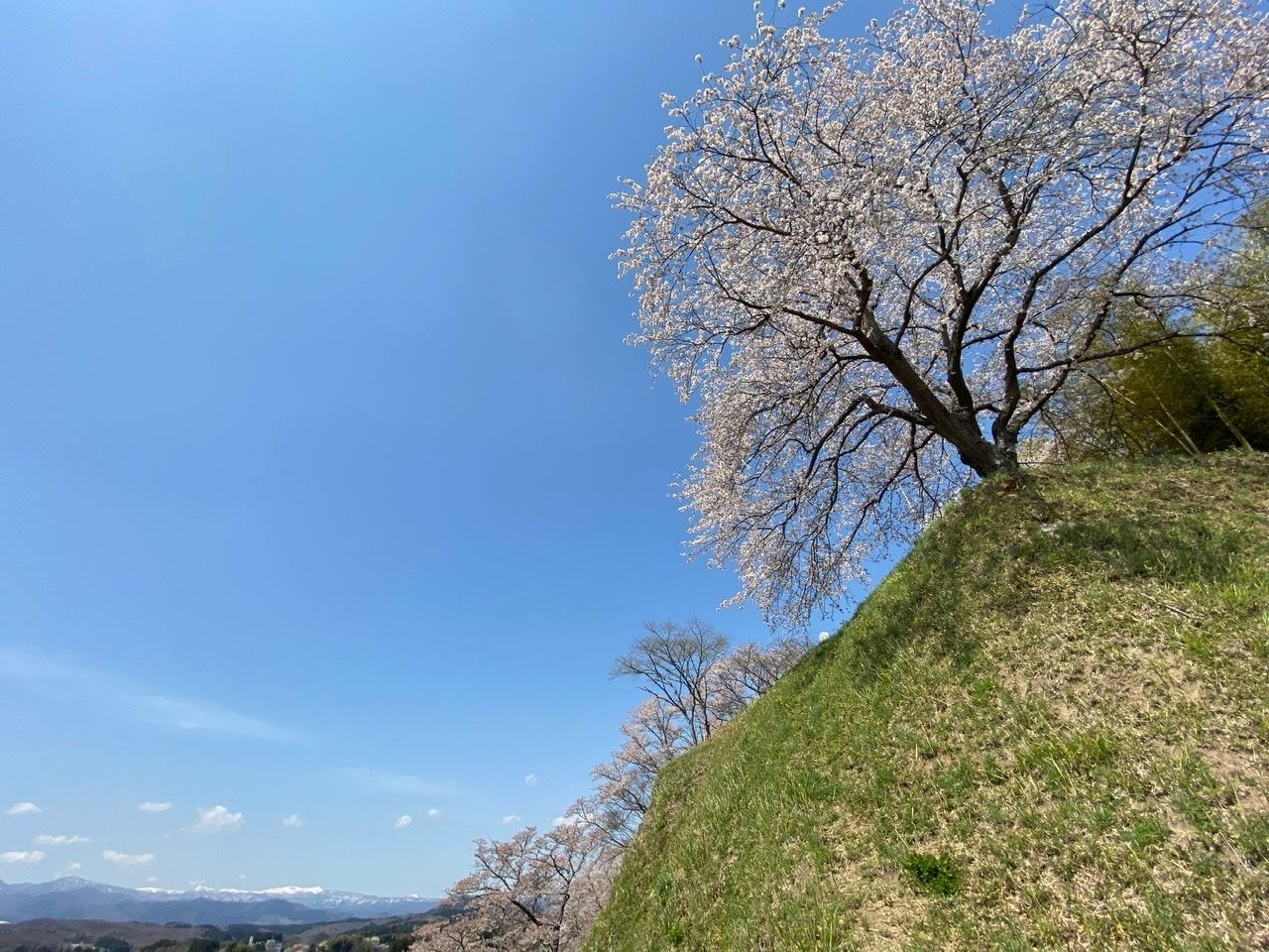 大衡城跡公園の桜_b0314043_15194314.jpeg