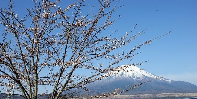 富士周辺も春がやってきました!桜が咲き始めました。【山中湖の富士山】_d0153860_16442123.jpg