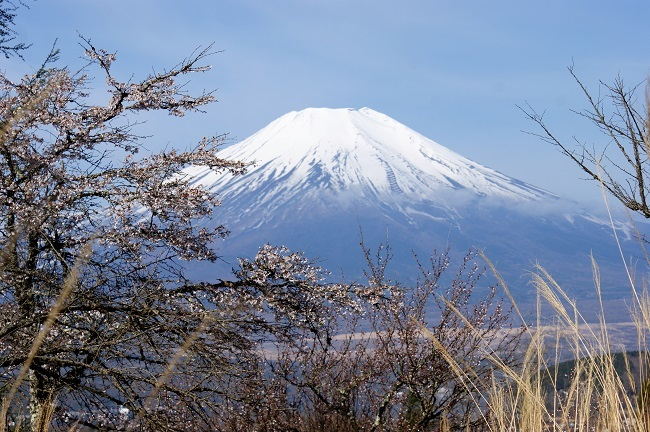 富士周辺も春がやってきました!桜が咲き始めました。【山中湖の富士山】_d0153860_16443186.jpg