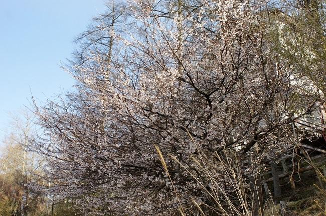 富士周辺も春がやってきました!桜が咲き始めました。【山中湖の富士山】_d0153860_16443648.jpg