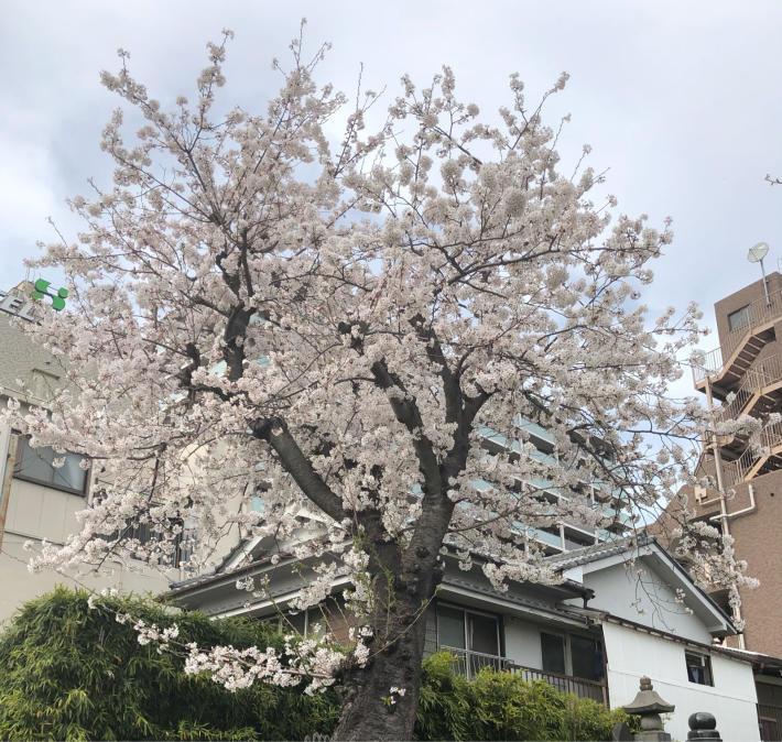 ホワイトデーと桜_b0039578_13185174.jpg
