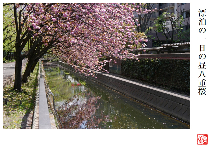 漂泊の一日の昼八重桜_a0248481_21092814.jpg