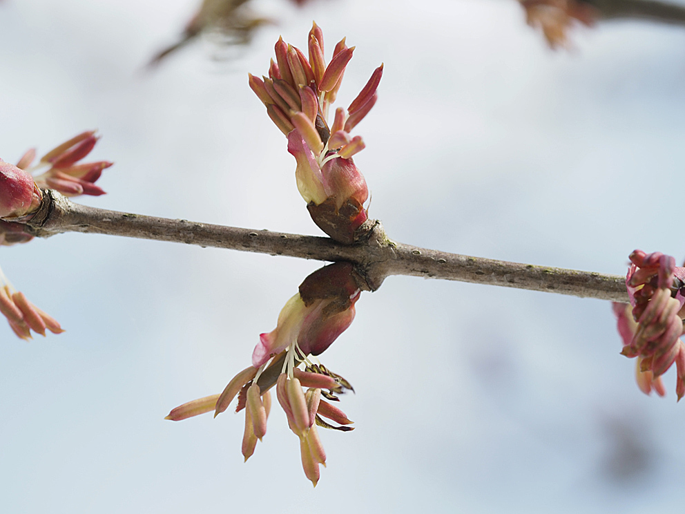冬芽の展開(5) カツラ_d0163696_17574272.jpg