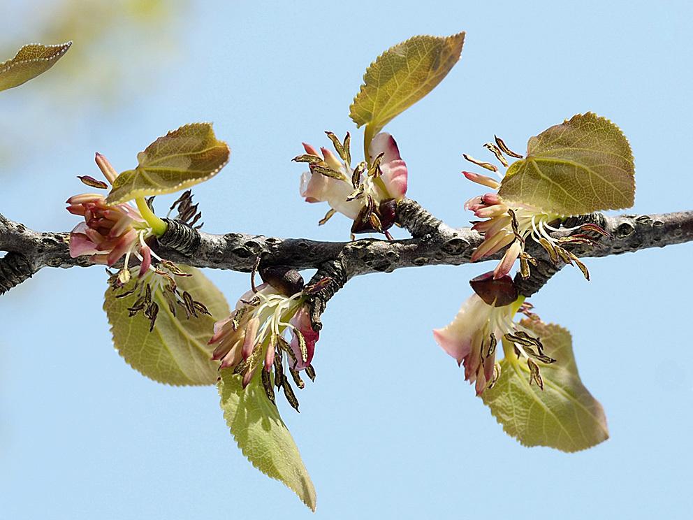 冬芽の展開(5) カツラ_d0163696_17575266.jpg