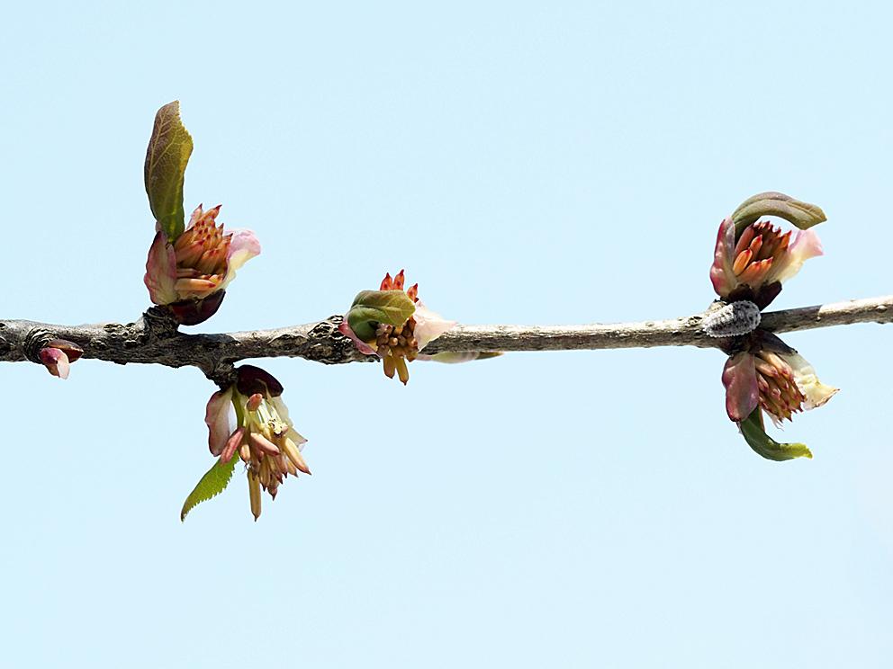 冬芽の展開(5) カツラ_d0163696_17580136.jpg