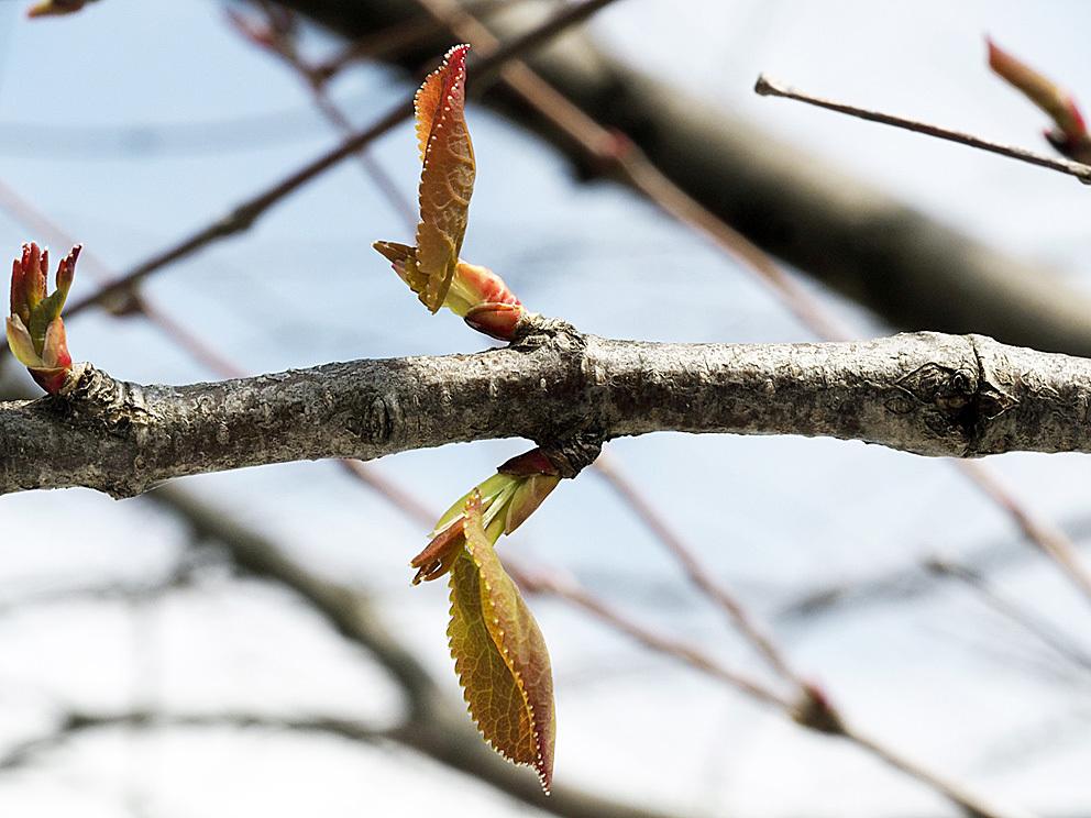 冬芽の展開(5) カツラ_d0163696_17581132.jpg