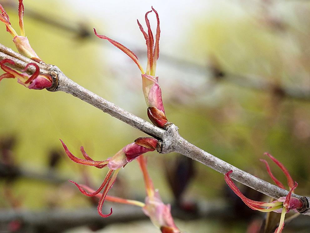 冬芽の展開(5) カツラ_d0163696_17583034.jpg