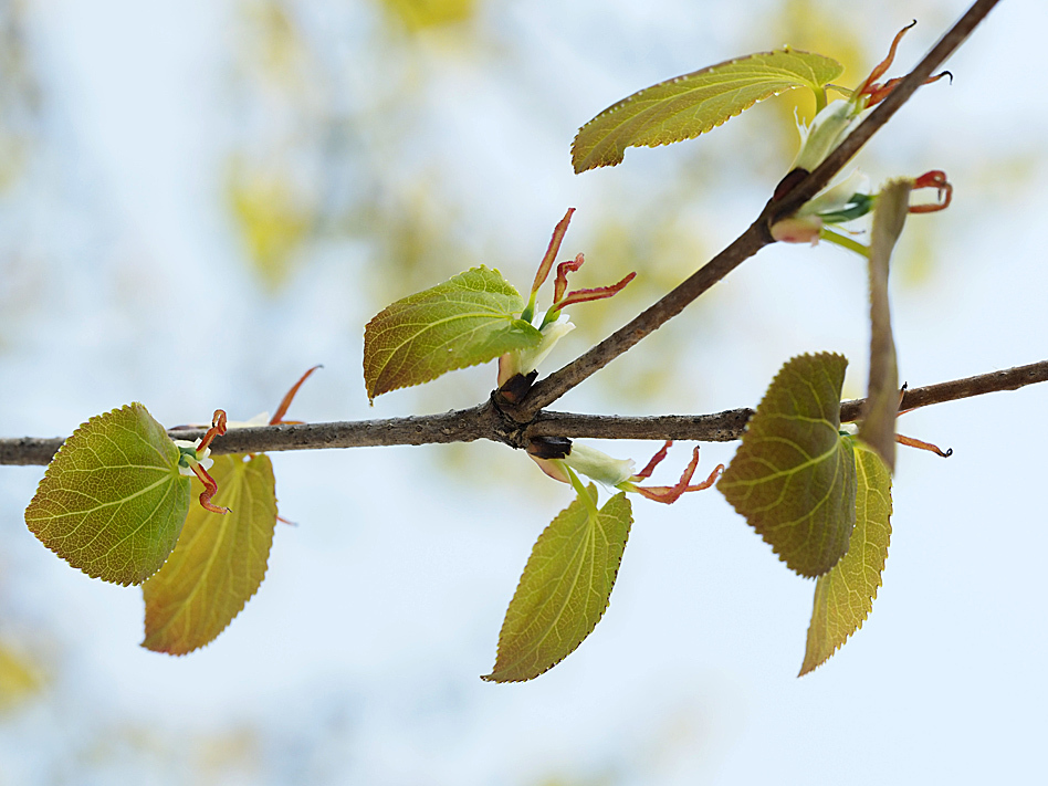 冬芽の展開(5) カツラ_d0163696_17584328.jpg