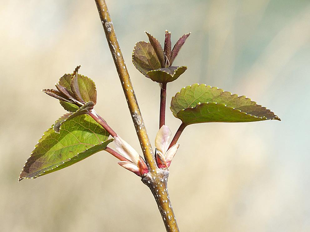 冬芽の展開(5) カツラ_d0163696_17591582.jpg