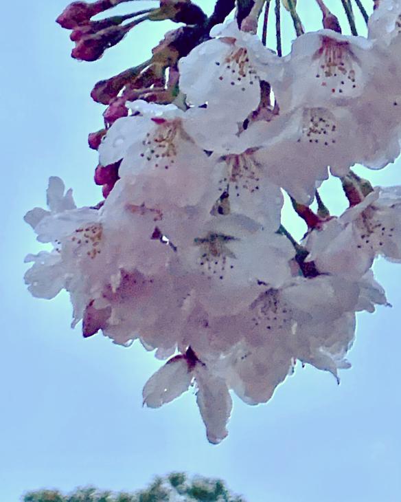 『桜雨』_b0093221_12313644.jpg