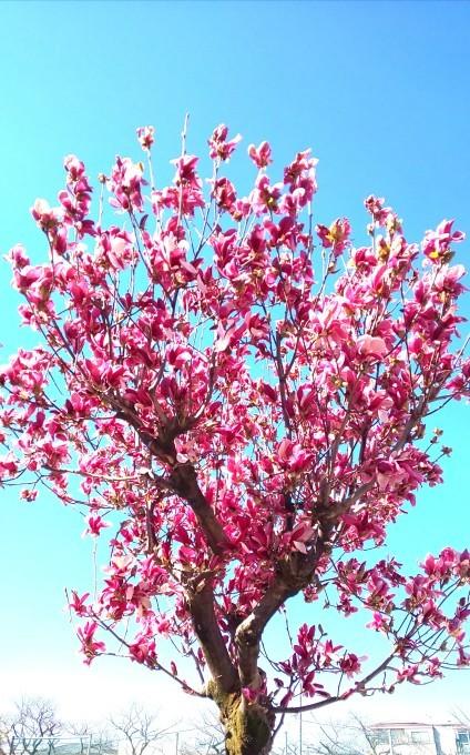 4月15日 「虹始見る」という日・木蓮(モクレン)_b0255824_19440533.jpg