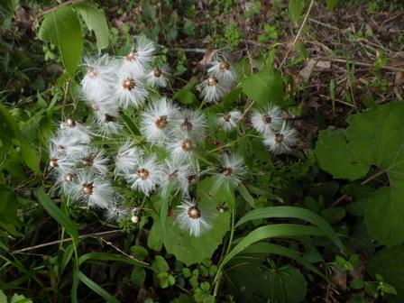 ブラシのような花。そして蛇の目_a0123836_17270186.jpg