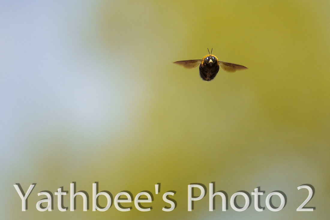 ~ クマバチの春・・2 ~  2021.4_d0371737_16191233.jpg