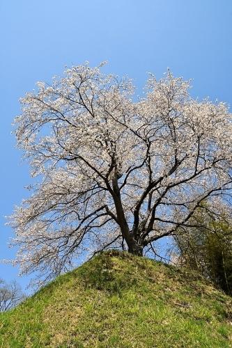 大衡城跡公園の桜_b0314043_07074696.jpg