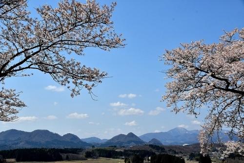 大衡城跡公園の桜_b0314043_07111192.jpg