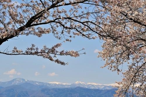 大衡城跡公園の桜_b0314043_07121115.jpg