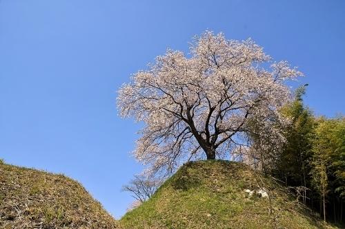 大衡城跡公園の桜_b0314043_07172149.jpg