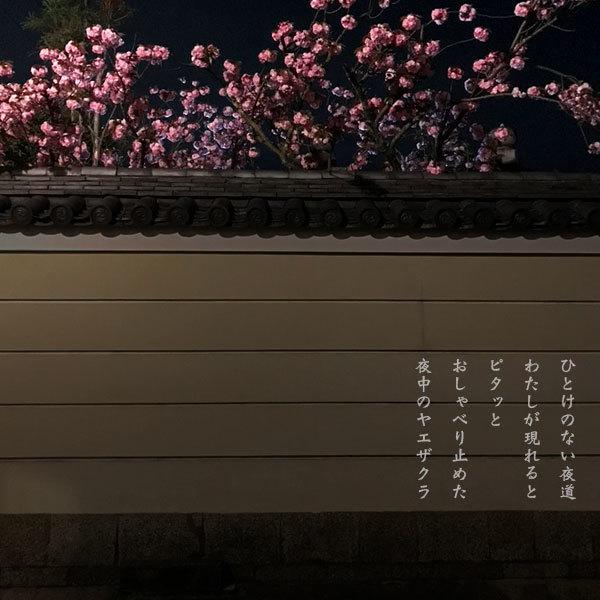 夜中の八重櫻_a0197968_11443384.jpg