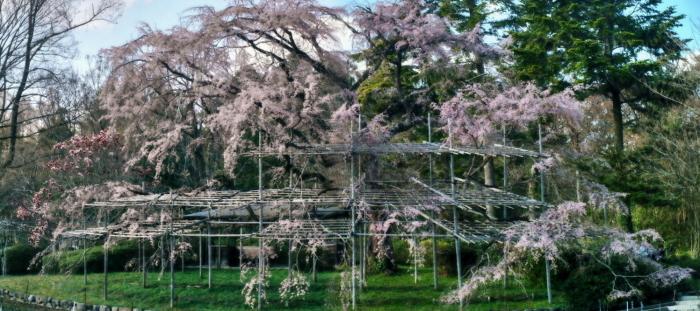 京都 桜 2021_f0021869_23562797.jpg