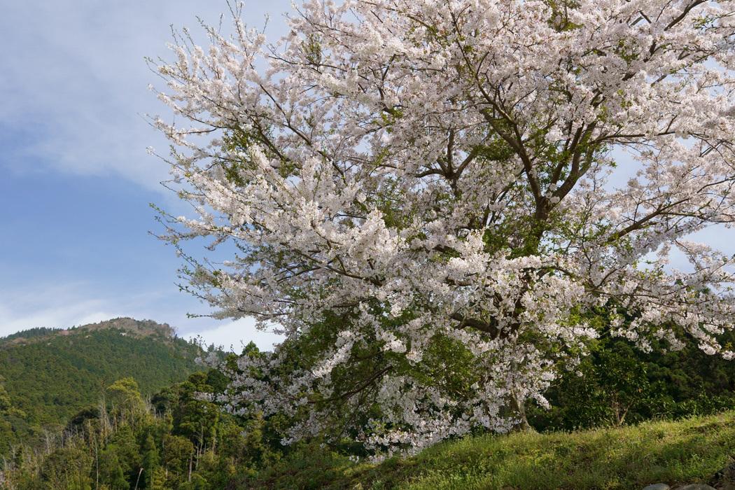 21.03.26:休暇をとって桜散策④糸島ゆらりんこ橋傍の桜と菜の花3-完_c0007190_18372357.jpg