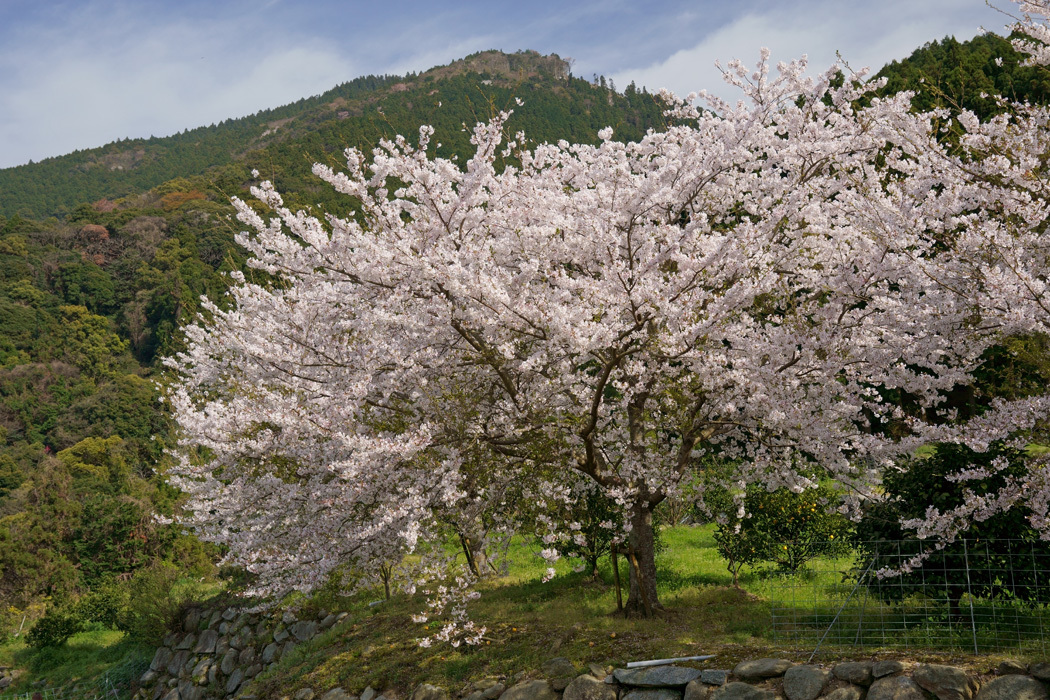 21.03.26:休暇をとって桜散策④糸島ゆらりんこ橋傍の桜と菜の花3-完_c0007190_18374075.jpg