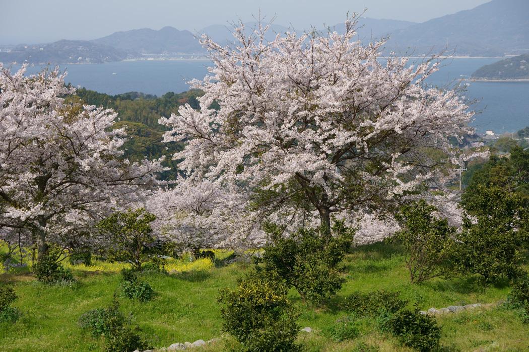 21.03.26:休暇をとって桜散策④糸島ゆらりんこ橋傍の桜と菜の花3-完_c0007190_18380671.jpg