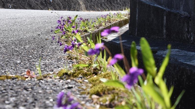 21年春の自然(30)…スミレ(3) _c0062934_19241707.jpg