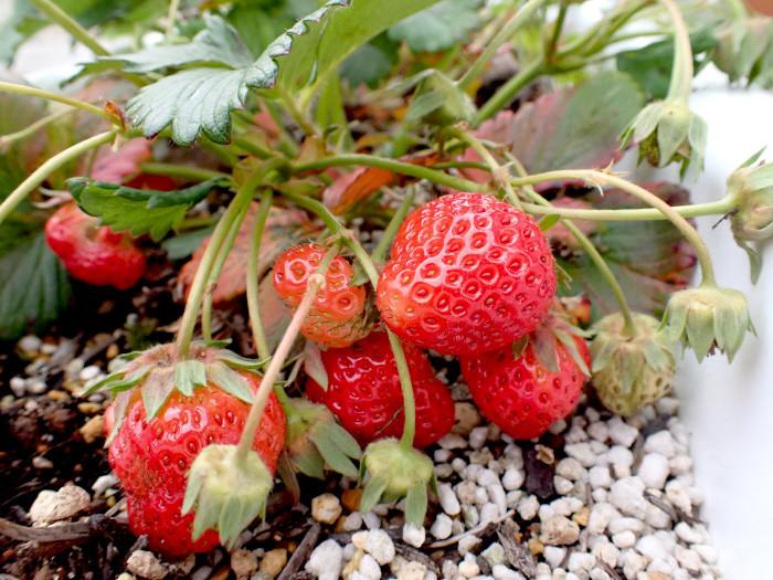 赤い実、収穫_c0120834_17245082.jpg