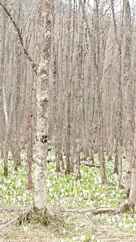 水芭蕉散策とすずらんブローチ_f0365636_07560416.jpg