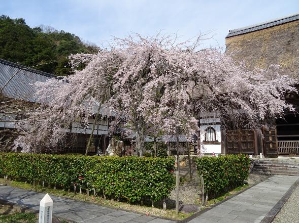 綾部安国寺の枝垂れ桜_b0299042_15222993.jpg
