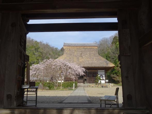 綾部安国寺の枝垂れ桜_b0299042_15225759.jpg