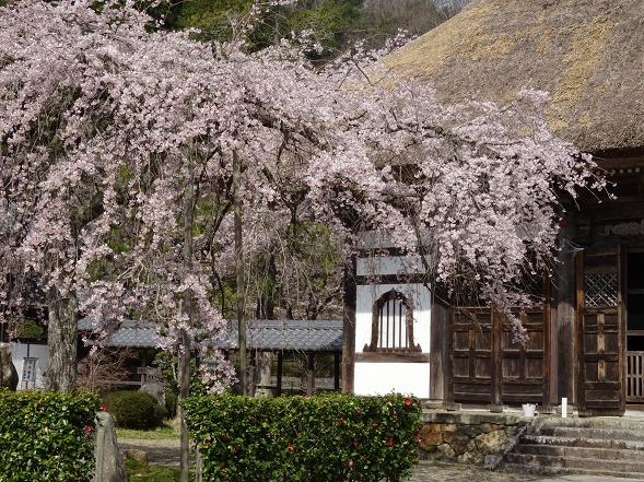 綾部安国寺の枝垂れ桜_b0299042_15231162.jpg