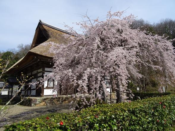 綾部安国寺の枝垂れ桜_b0299042_15231678.jpg